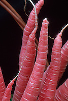 Carrot 'Nutri-Red' red root vegetable carrots harvested, picked and ready to eat, against black dark background, unusual color, more vitamins A