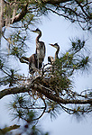 Young great blue herons crowd their meager nest in tall pines on a hummock in the &quot;Lost World&quot; area of the May River.