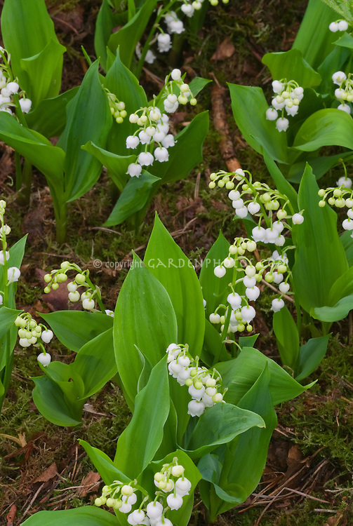Convallaria majalis Lily of the Valley in spring flower bloom