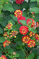 Lantana camara Spreading Sunset