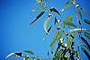 Eucalyptus leaves and fruits against blue sky<br /> <br /> Eucalypto hojas y fruits contra cielo azul<br /> <br /> Eukalyptusbl&auml;tter und Eukaluyptusfr&uuml;chte gegen blauen Himmel<br /> <br /> 3360 x 2240 px<br /> Original: 35 mm