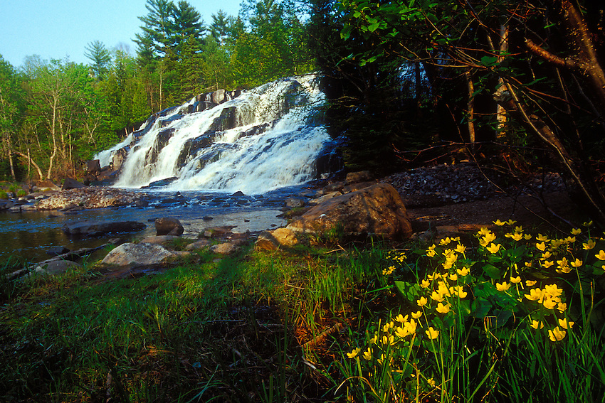 Marsh marigolds bloom in spring at the base of Bond Falls on the Ontonagon River near Paulding Michigan in the Upper Peninsula.