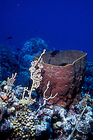 BARREL SPONGE ON REEF<br /> Demosponge in reef habitat<br /> Barrel sponges are comprised of cells that build a wall in the shape of a tube or bowl. These cells pump water through the sponge's wall, allowing the sponge to capture microscopic plankton and pump out waste.