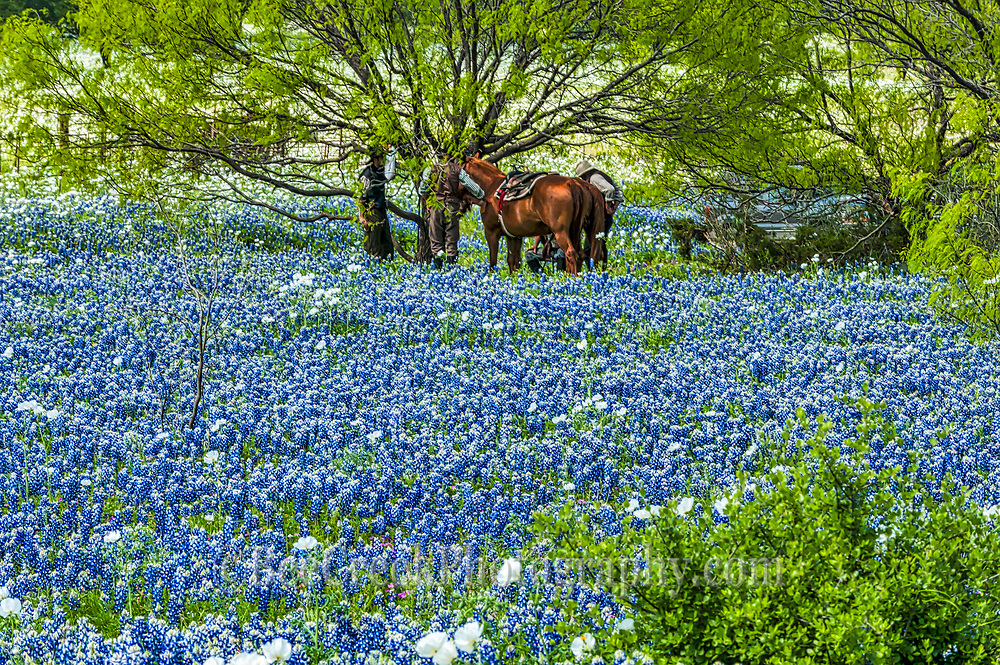This one we capture the bluebonnets as these cowboy meet up to take in all the tourist invading there territory.  They seem to enjoy looking back at the tourist coming to photograph this landscape of blue.  These wildflower have taken over these fields and the cowboys and horses  are gathering under a mesquite tree to watch us take pictures of them.  Seems they put on their best hats to be photographed in across this hill coutry landscape of blue.