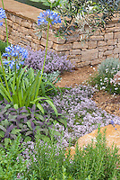 Thyme in bloom, culinary sage, blue flowers agapanthus, rosemary herbs in dry clay soil