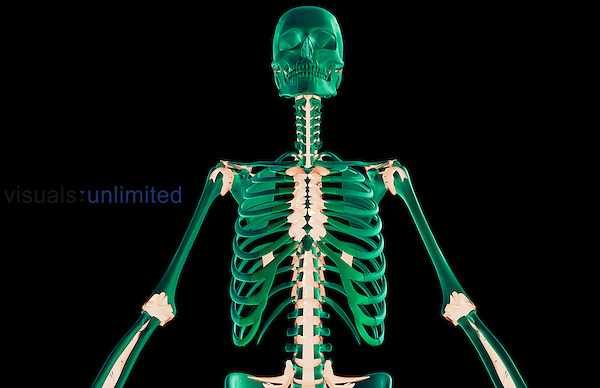 An anterior view of the ligaments of the upper body. Royalty Free