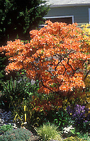Rhododendron orange, Mandarin Lights (Exbury Azalea) spring flowering shrub garden