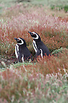 Magellanic penguins, Falkland Islands