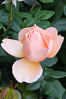 Rose Mother of Pearl (Meiludere) one single soft pink salmon opening, with foliage grandiflora