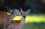 White-tailed deer and fawn, Montana