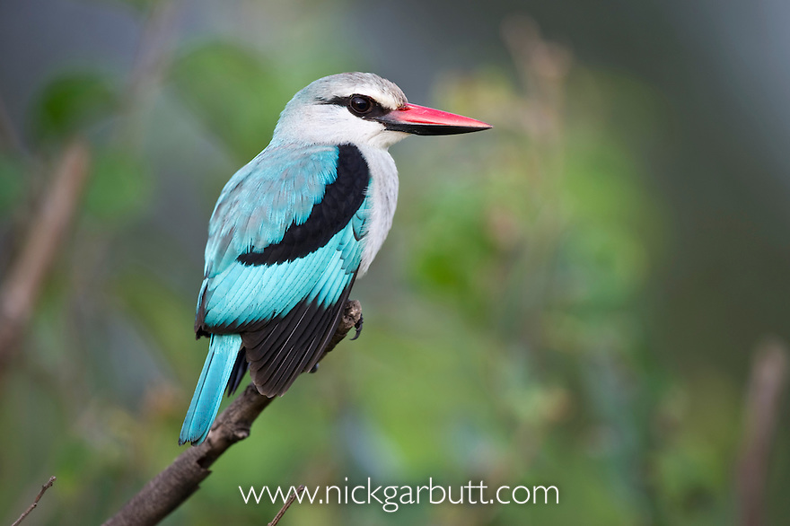 Behaviour of Woodland Kingfishers in Ghana - ResearchGate