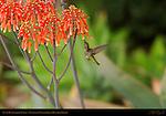 Anna's Hummingbird Female, Feeding on Kalanchoe in Hovering Flight, Southern California