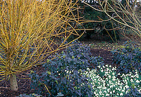 Mahonia Apollo, Galanthus, Salix alba 'Vitellina', Anglesey Abbey in winter