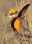 Greater Prairie Chicken, Tympanuchus cupido, perform mating display in their lek near Grand Island, Nebraska.