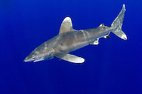 The Oceanic Whitetip Shark, Carcharhinus longimanus, is easily identified by its distinctive paddle-shaped dorsal and pectoral fins. Once common throughout the world's deep tropical and subtropical seas, their population has been decimated by commercial fishing in recent years, particularly longlining.  Bahamas, Atlantic Ocean