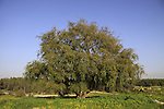 T-141 Shephelah, Jujube tree in Ben Shemen