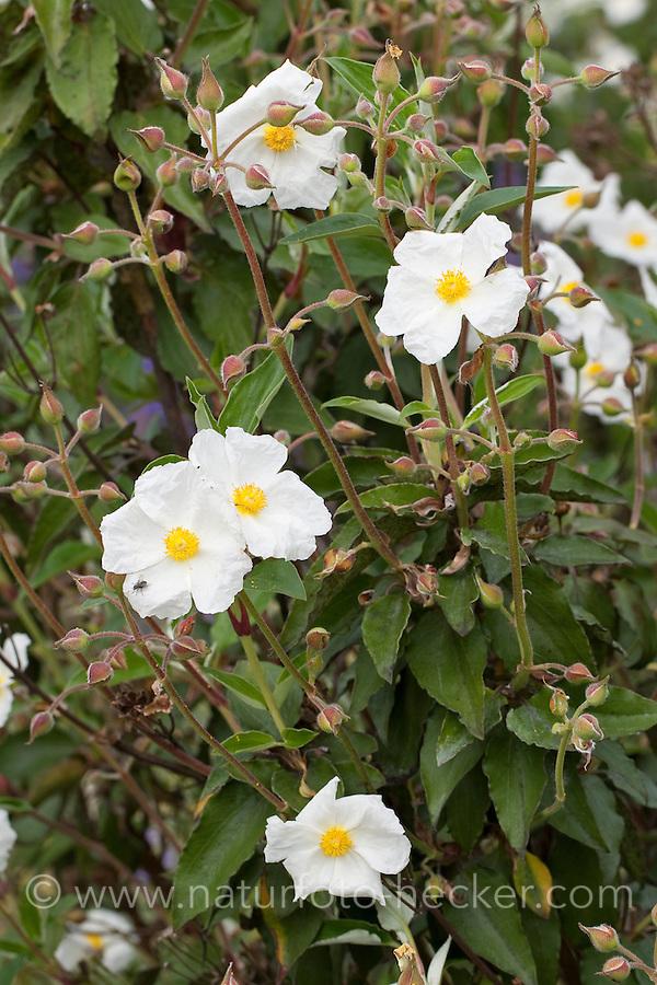 Lorbeerblättrige Zistrose, Cistus laurifolius, Rock Rose, Sun Rose