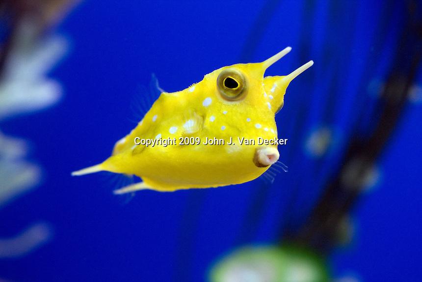 Cowfish 1.jpg John Van Decker, Photography