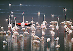 Greater and lesser flamingos, Rift Valley region, Kenya