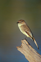 571018070 a wild eastern phoebe sayorais phoebe perches on a log over a small pond on a private ranch in the rio grande valley of south texas