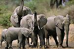 African elephant herd near a watering hole, Okavango Delta, Botswana