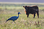 Blue Crane walking in a farm field where cattle are also grazing, Overberg, Western Cape, South Africa
