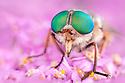 Horsefly {Philipomyia aprica} Aosta Valley, Monte Rosa Massif, Pennine Alps, Italy. July.