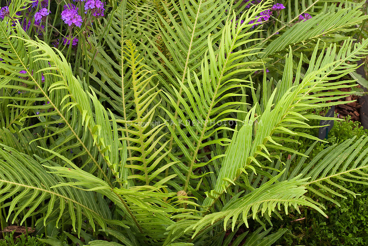 Dwarf Tree Fern Blechnum gibbum 'Silver Lady'