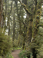 Hiking track through goblin forest on Panekiri  Range, Te Urewera, Hawke's Bay, North Island, New Zealand, NZ