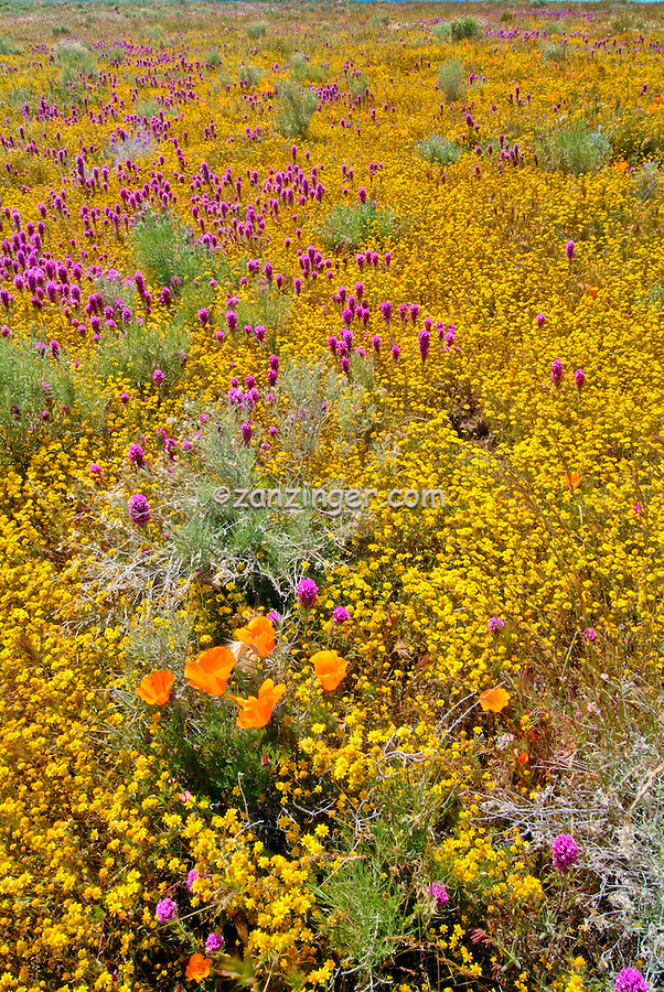 spring wildflowers in antelope - photo #12