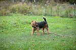 Airedale, Terrier<br /> <br /> <br /> <br /> Shopping cart has 3 Tabs:<br /> <br /> 1) Rights-Managed downloads for Commercial Use<br /> <br /> 2) Print sizes from wallet to 20x30<br /> <br /> 3) Merchandise items like T-shirts and refrigerator magnets