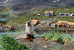 Antarctic fur seal, Grytviken, South Georgia Island