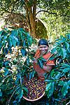 Panama Indian picking coffee on a coffee farm in San Marcos de Terrazu, Costa Rica.