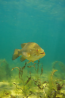 Smallmouth Bass<br /> <br /> ENGBRETSON UNDERWATER PHOTO