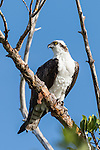 Ding Darling National Wildlife Refuge, Sanibel Island, Florida; an Osprey perched on a high branch of a mangrove tree in early morning sunlight