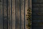 Sunrise Vines growing up along side of abandoned warehouse