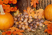Harvest sill life with pumpkins, persimmons, mums, and maple leaves collected under a tree