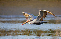 A brown pelican (Pelecanus occidentalis) glides over the waters of Elkhorn Slough in Moss Landing, California.