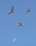 Sandhill Cranes fly with the moon in backgroud at Bosque del Apache National Wildlife Refuge, New Mexico