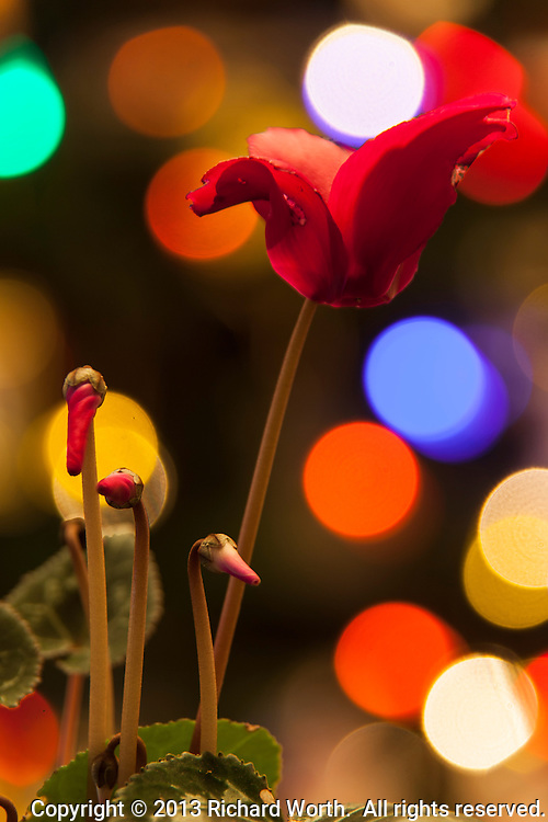 A cyclamen plant with one bloom and several buds in front of a colorful blurred-Christmas lights background.