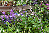 Garden spring flower scene with rustic fence, cottage style gardening with Columbine Aquilegia, Foxglove Digitalis, Leucanthemum daisies, phlox, mixture of variety of flowers and herbs, May or June blue and purple lavender color theme