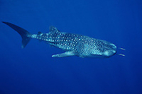 A young Whale Shark, Rhincodon typus, cruises just below the surface.  Koh Tachai, Similan Islands Marine National Park, Andaman Sea, Thailand.