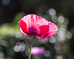 Poppies and Bokeh on the Isle of Wight
