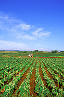 Dry land taro or kalo farm, the staple food of the Hawaiians