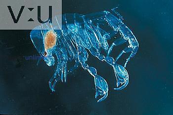 Amphipod (Phronemia sp.) Gulf Stream, Florida