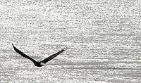 An eagle flies along the Columbia River in Schawana, Washington on February 8, 2011.  (photo credit Karen Ducey)