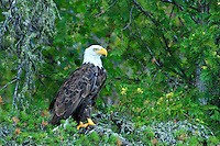 &quot;Bald Eagle&quot;<br />