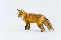 Red fox on the snow covered tundra of the Arctic coastal plains, Alaska