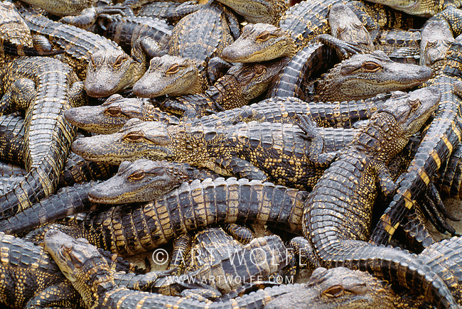 A jumbled mass of juvenile American alligators, Everglades National Park, Florida, USA