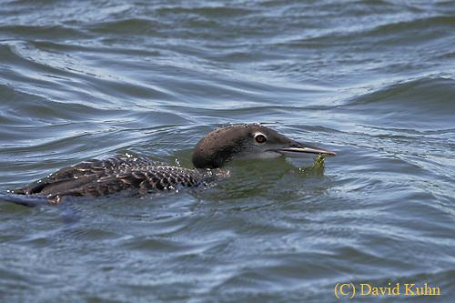 0806-06xx,  Juvenile common - loon, Gavia immer, (C) David Kuhn/Dwight Kuhn Photography